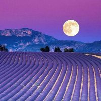 Lavender fields are really an praising view in france