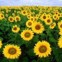 सूरजमुखी के बारे में महत्वपूर्ण और आश्चर्यजनक तथ्य – Important and Amazing Facts About Sunflowers