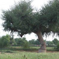 राजस्थान के राजकीय वृक्ष खेजड़ी के बारे में – Khejadee vrksh in hindi