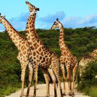 जिराफ के बारे में महत्वपूर्ण तथ्य Important Facts About Of Giraffe in Hindi
