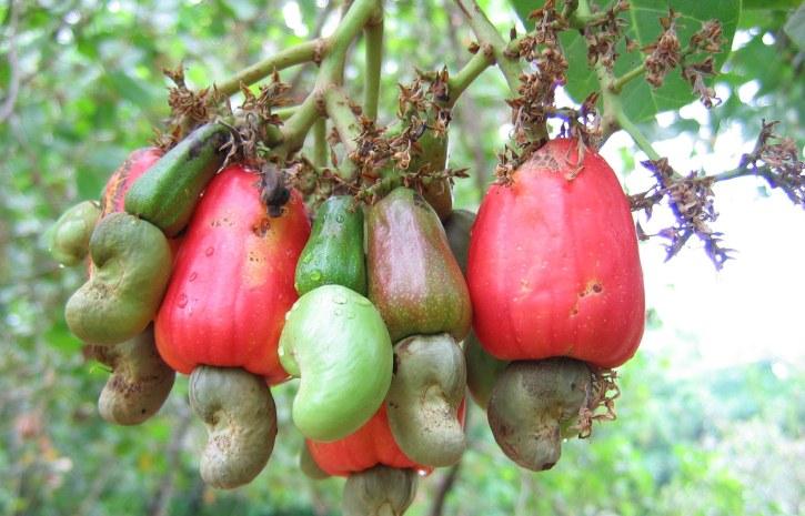 काजू सेब खाने के फायदे और नुकसान Kaju Seb Khane Ke Fayde or Nuksan in Hindi