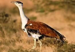 Rajasthan Bird Godawan - राजस्थान का राज्य पक्षी गोडावन