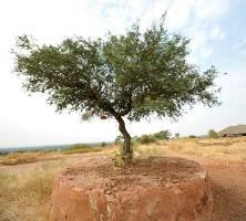 Rajasthan Tree khejri - राजस्थान राज्य वृक्ष खेजड़ी