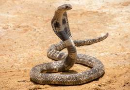 kobra - राष्ट्रीय सरीसृप