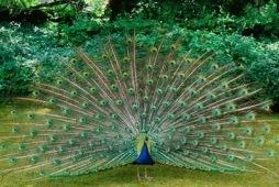 national bird - राष्ट्रीय पक्षी