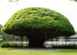 national tree - राष्ट्रीय वृक्ष