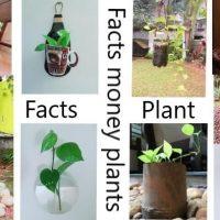 मनी प्लांट ट्री के बारे में आश्चर्यजनक तथ्य Amazing Facts about Money Plant Tree